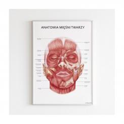 Plakat anatomiczny - MIĘŚNIE TWARZY